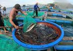 Tắm cá… ăn Tết trên đảo Lý Sơn