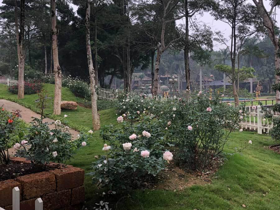 Về Ba Vì du xuân ở vườn hồng lãng mạn, ngọt ngào
