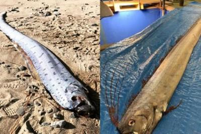 Người Nhật hốt hoảng vì cá báo điềm xấu xuất hiện