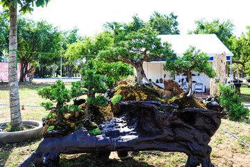 Cây bonsai có giá gần 5 tỷ đồng tại Long An