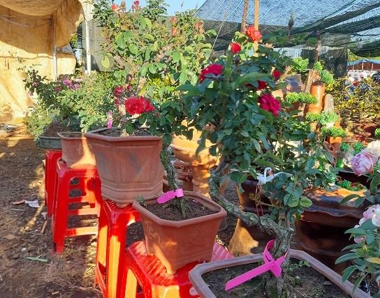 hoa hồng,hoa tết,vườn hồng