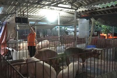 Trại lợn độc nhất Việt Nam: Cho ăn giun, nghe nhạc Pháp
