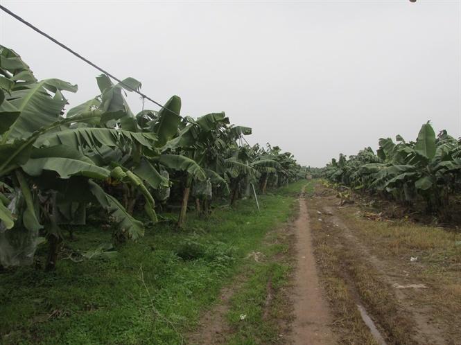 nông dân tỷ phú,trồng chuối,làm giàu