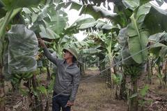 Chuyện về anh nông dân sắm ô tô đi thuê đất trồng chuối, thu 10 tỷ/năm