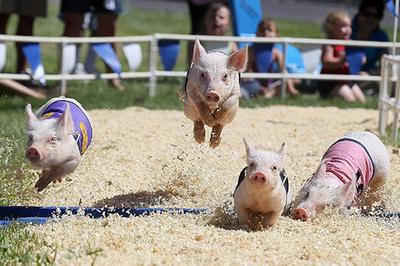 Lợn bốn phương