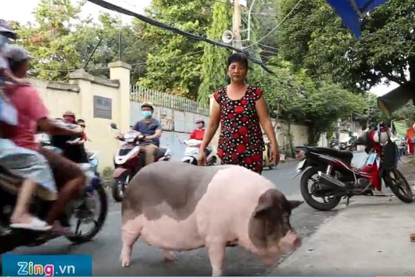 Chú heo 150 kg ở Sài Gòn sống chung với chủ như thú cưng