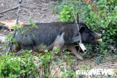 Chuyện lạ về giống lợn đeo gông, to như con bò ở Mù Cang Chải