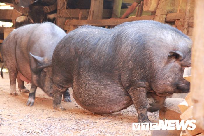 lợn rừng