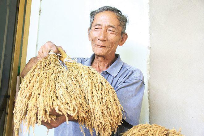 Lạ lùng loại nếp đắng ở Quảng Nam
