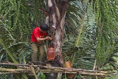 Cực lạ Gia Lai: Loài cây trực tiếp cho rượu 'vạn người mê'