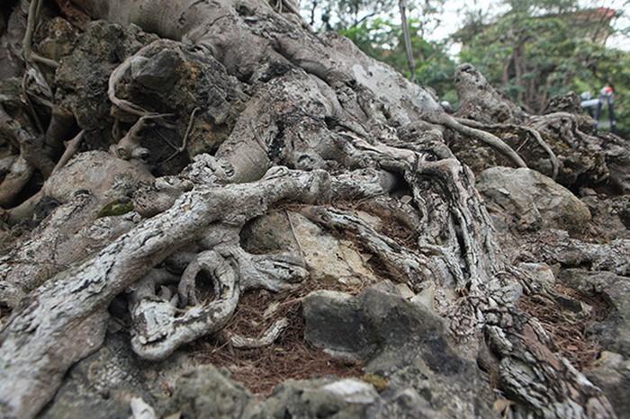 Hai cây sanh 'khủng' của doanh nhân bí ẩn ở Hà Nội