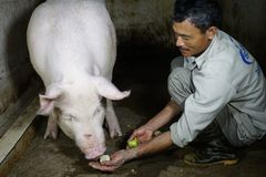 Kỳ lạ ngôi làng 'quý lợn khác thường', ngày ăn cháo trắng tối ngủ mắc màn