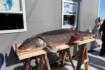 Bắt được 'cụ' cá tầm 130 tuổi to khủng khiếp