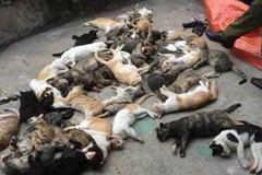Nam Định: Hàng trăm con mèo bỗng lăn đùng ra chết