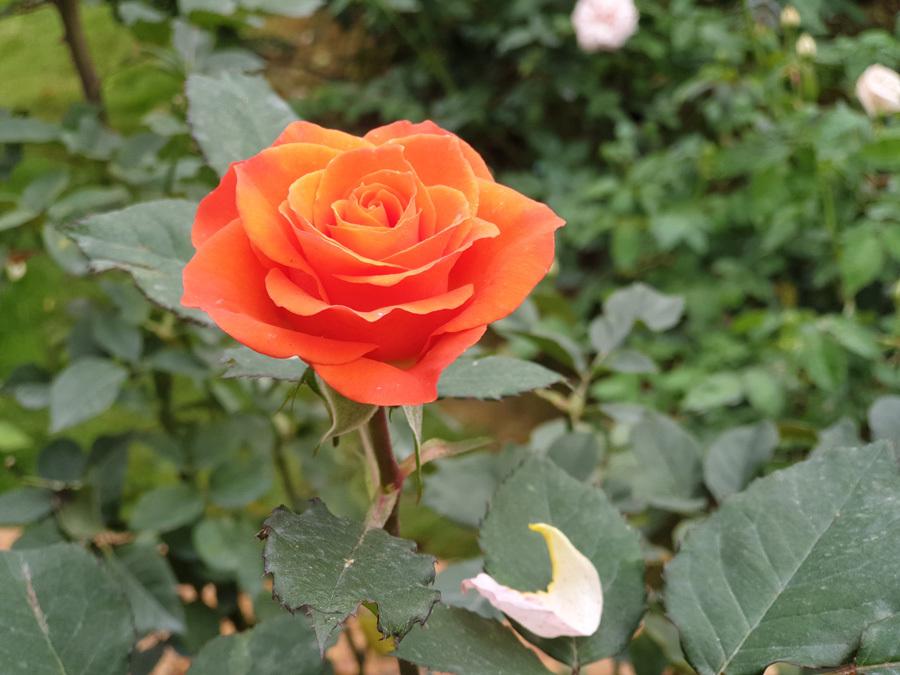 Chiêm ngưỡng vườn hồng ngàn người mê tại Ba Vì
