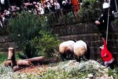 Nghẹt thở xem giải cứu bé gái ngã vào chuồng gấu trúc