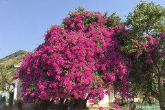 Cây hoa giấy 'khủng' đỏ rực giữa đảo Lý Sơn, du khách ngất ngây