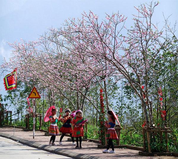 Đến Fansipan ngắm cả rừng hoa đào đang bung nở