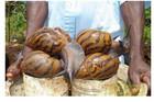 Ốc sên, dơi, mọt - 3 đặc sản 'khủng' kinh dị khiến người ăn hú hồn