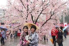Lễ hội hoa Anh đào tuyển chọn người đẹp làm Đại sứ thiện chí