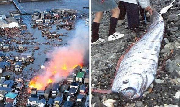 cá mái chèo,cá báo điềm xấu,Nhật,động đất,sóng thần,cá báo thảm họa