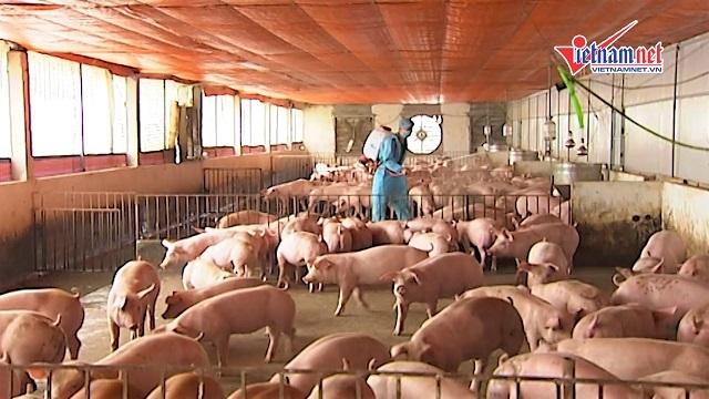 dịch tả lợn Châu Phi,thịt lợn