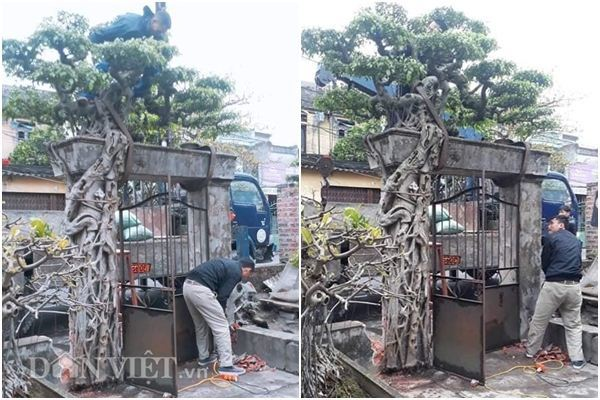 Xôn xao Nam Định: Cây sanh cổ bán kèm cổng nhà giá 6.000 USD?