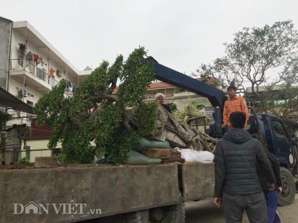 Xôn xao Nam Định: Cây sanh cổ bán kèm cổng nhà giá 6.000 USD? Cay-sanh-co-ban-kem-cong-nha-gia-6000-usd-4
