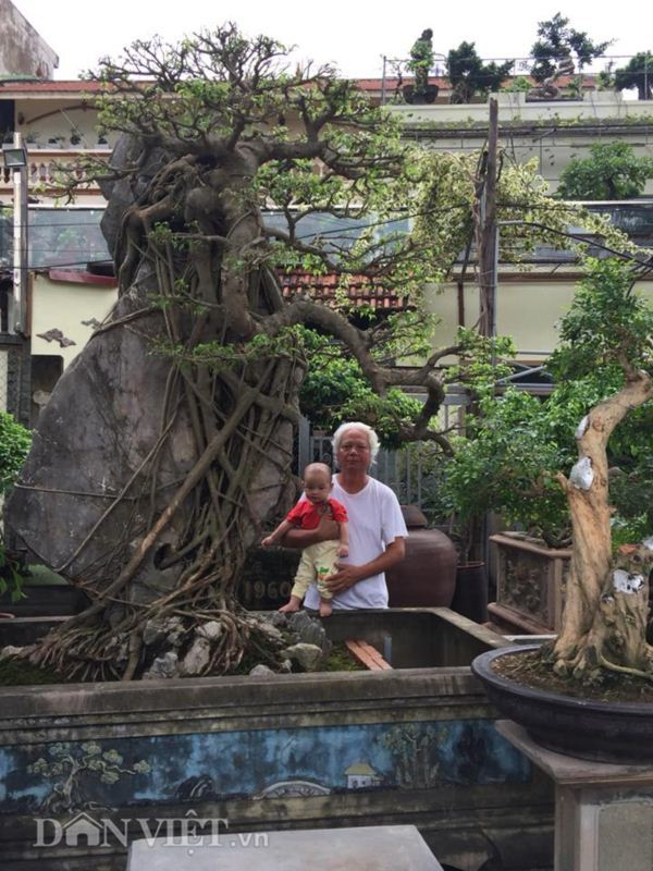 Xôn xao Nam Định: Cây sanh cổ bán kèm cổng nhà giá 6.000 USD? Cay-sanh-co-ban-kem-cong-nha-gia-6000-usd-8