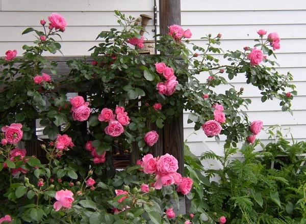 Hà Tăng chia sẻ bí quyết để trồng hoa hồng bông to rực rỡ, nhìn là mê