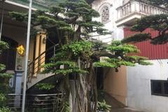 Chiêm ngưỡng cây sanh được đại gia mê mẩn trả giá hơn 2 tỷ đồng