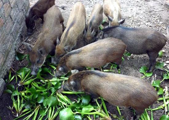 bệnh dịch,dịch tả lợn châu phi,chăn nuôi lợn,lợn rừng