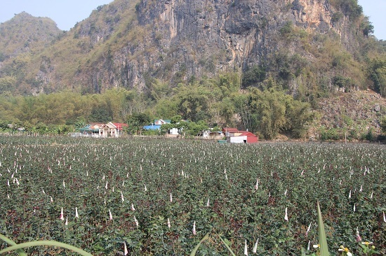 Gái đảm lên núi trồng hoa hồng, lãi hơn 300 triệu đồng mỗi năm