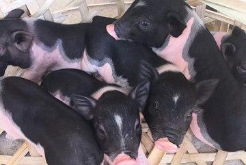 'Boss' lợn Trung Quốc 1,5 triệu/kg: Cô 'sen' Hà thành xịt nước hoa, dắt dạo phố