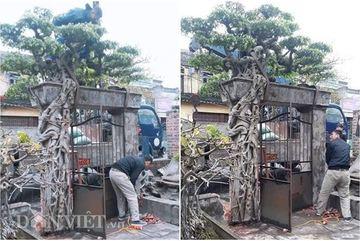 Sanh cổ độc nhất Bắc Bộ: Mua cây chở luôn cổng nhà nguyên khối