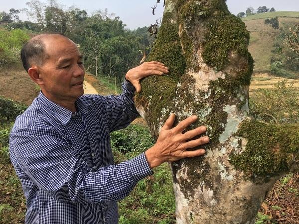 'Kho báu' chè Shan tuyết cổ thụ 70 tuổi nơi vùng cao bản Suối Lìn