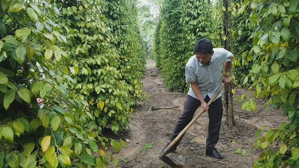 Nông nghiệp hữu cơ,trồng tiêu hữu cơ,nông nghiệp sạch