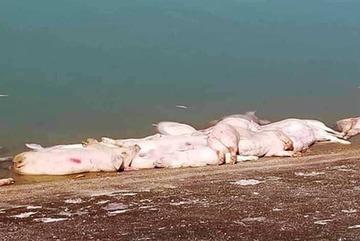 Tá hỏa heo chết thả đầy hồ ở Khánh Hòa