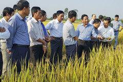 Giấc mơ gạo hữu cơ giá cao như ở Hàn Quốc của người Thái Bình