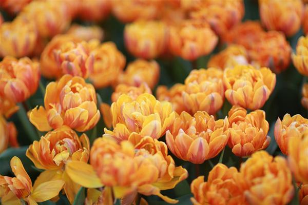 Top 5 điểm ngắm hoa tulip đẹp 'khó cưỡng'