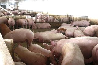 Xử nghiêm Facebook tung tin sai sự thật về dịch tả lợn