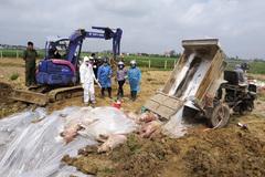 Tốn hơn 13 ngàn tỷ chống dịch, hàng triệu con lợn chết, tiêu huỷ