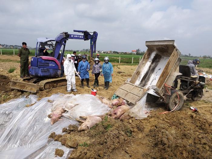 dịch tả lợn châu phi,chăn nuôi lợn,dịch bệnh chăn nuôi,giá thịt lợn,thịt lợn