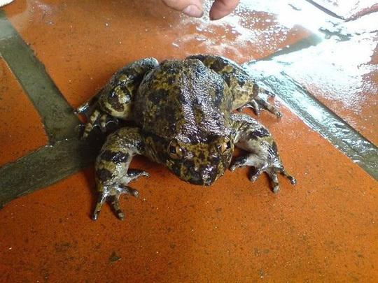 ếch,ếch đại gia