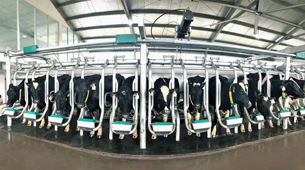 Vinamilk nhập thêm hơn 1.600 bò sữa HF và A2 từ Mỹ