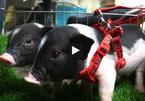 Chán mèo Tây, chó cảnh, giới trẻ Hà thành đua nhau nuôi lợn mini tiền triệu