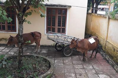 Hi hữu: Xét nghiệm ADN... bò để giải quyết tranh chấp