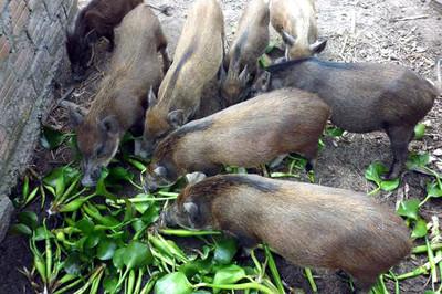 Bèo tây, rau chuối… không được cho lợn ăn?