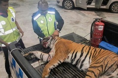 Liên tiếp người Việt ở Malaysia dính án sở hữu bộ phận hổ, báo