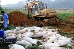 Dịch bệnh nguy hiểm lây lan: Đáng sợ mua bán lợn chết, lợn bệnh